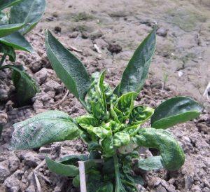 leaf-curl-viral-infection
