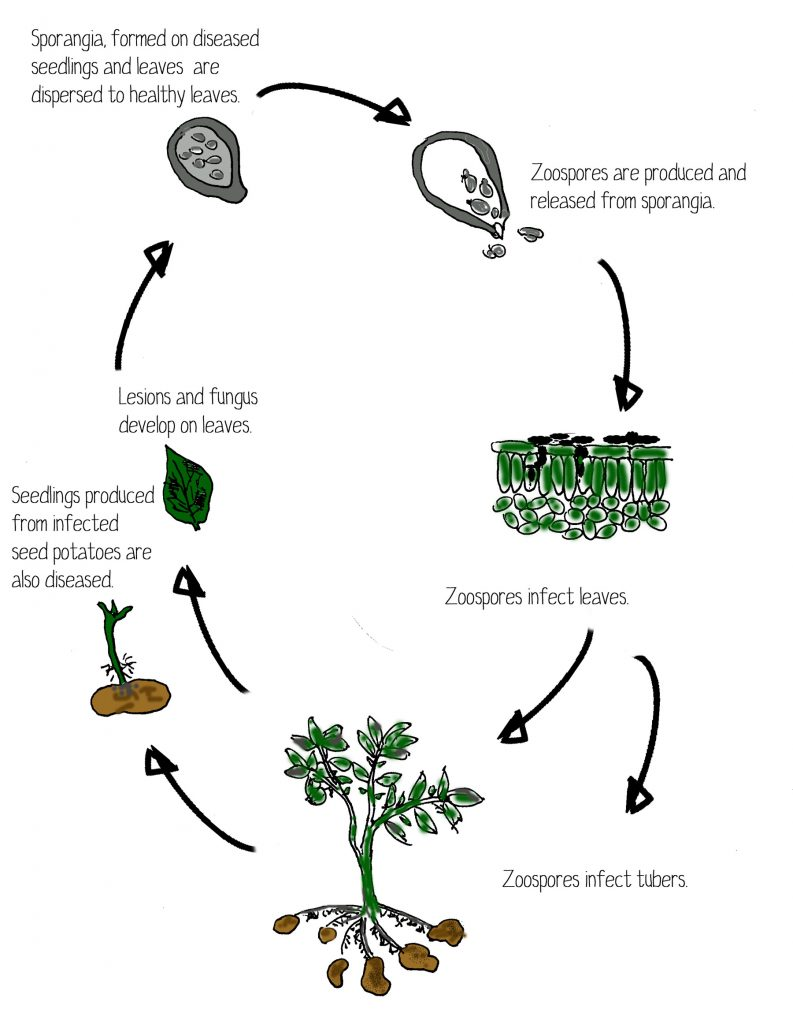 potato-blight-lifecycle-low-res