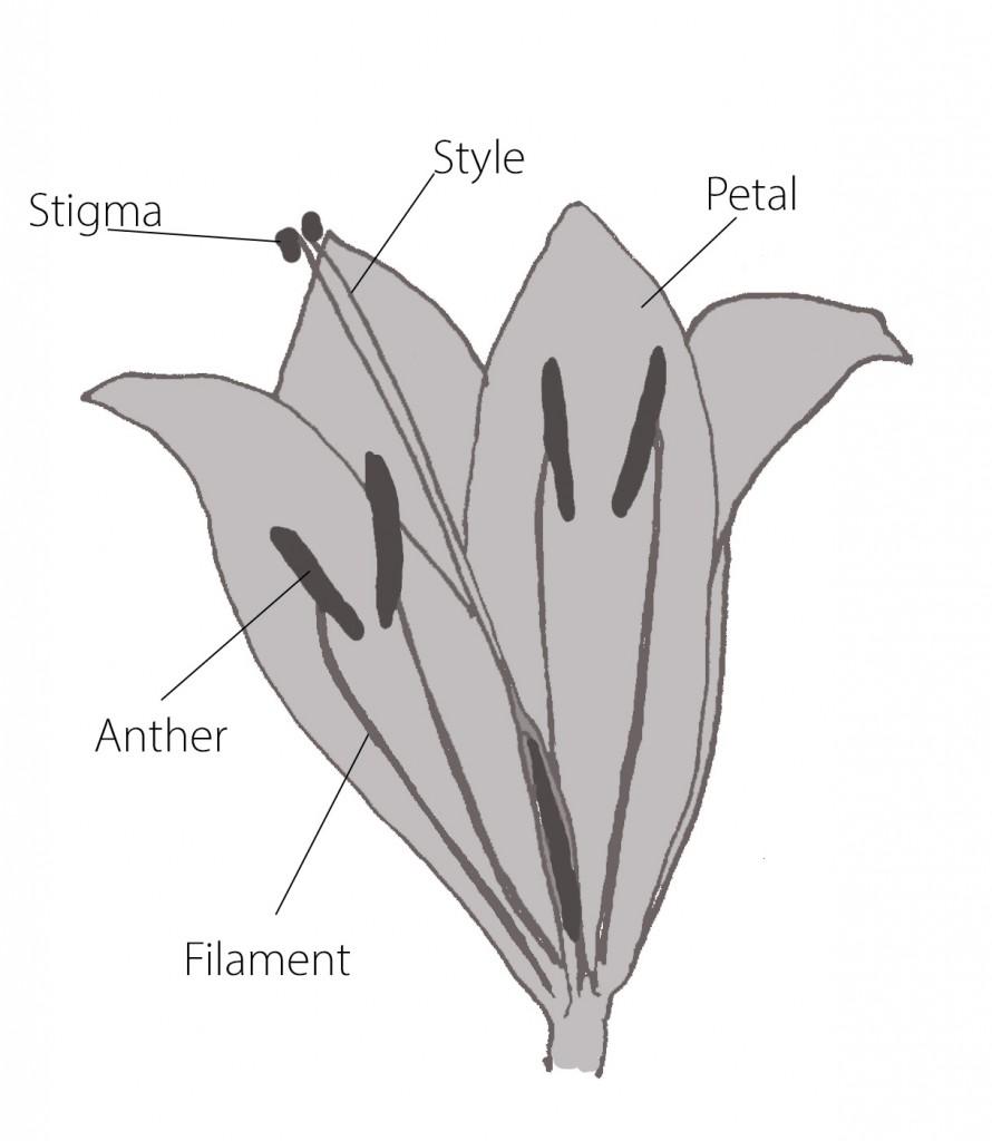 Lilium-flower