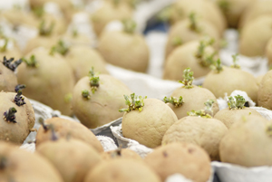 chitting-potatoes