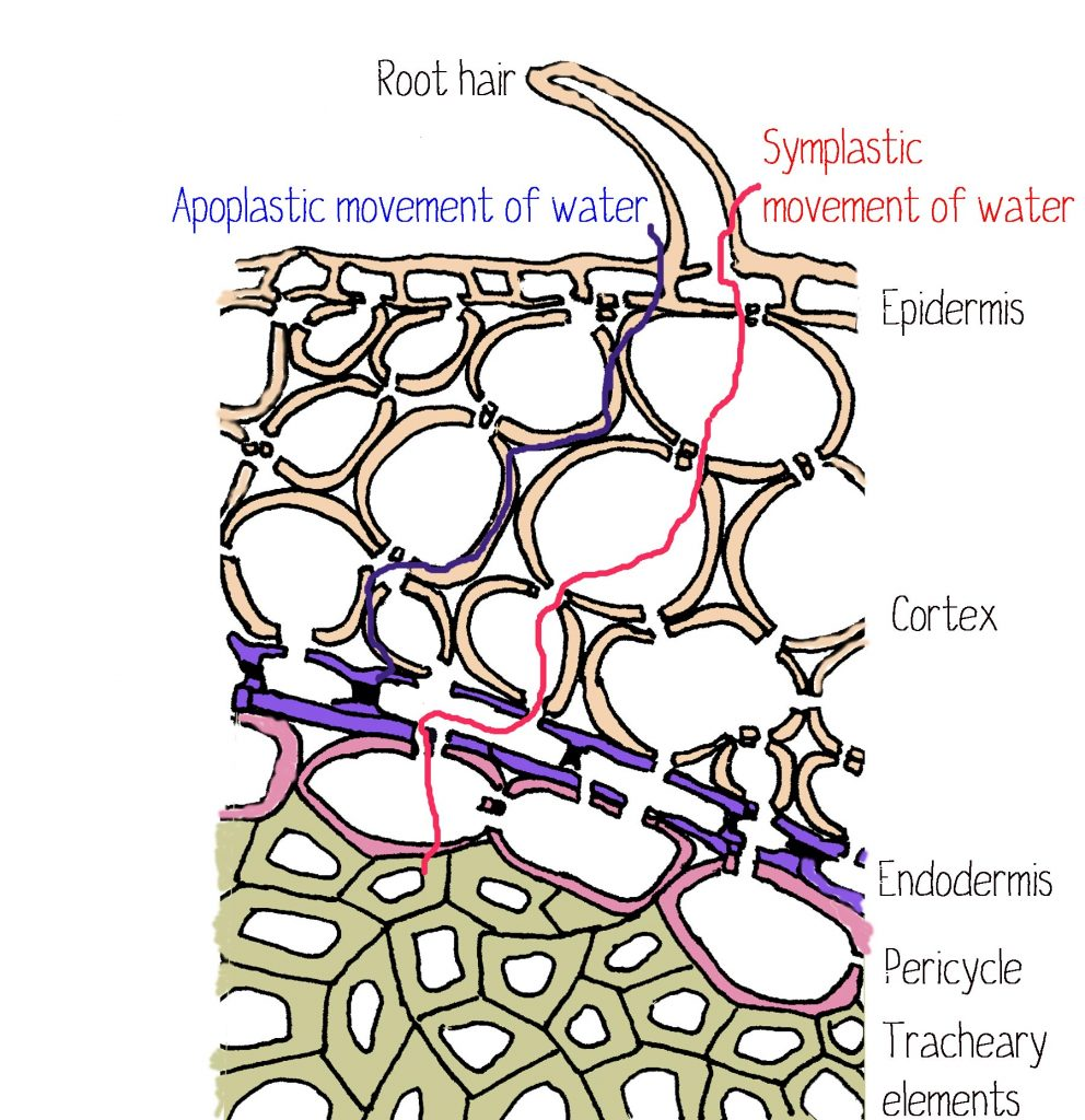 root-crosssection-water-movement